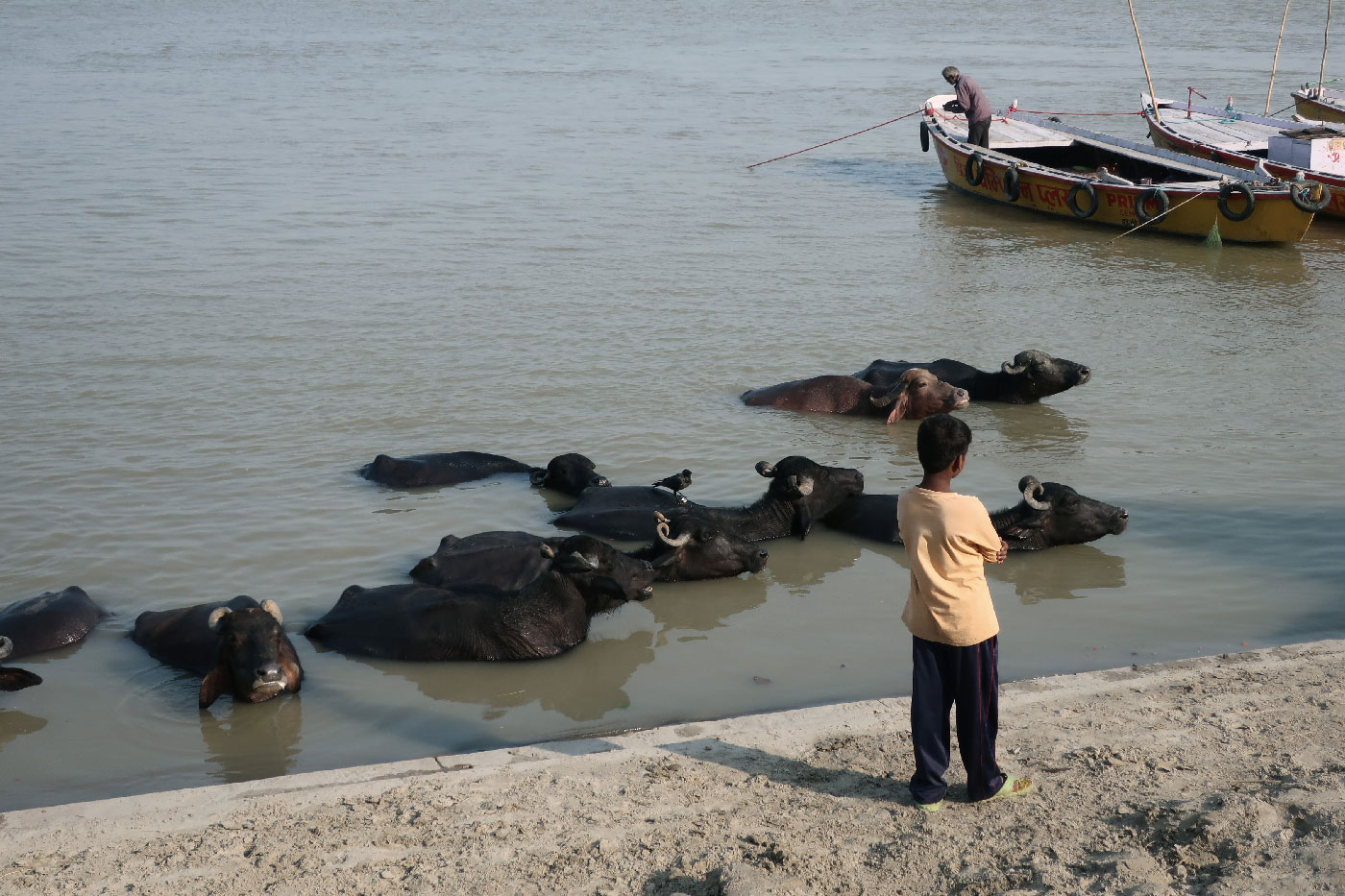 boy-cows-in-ganga